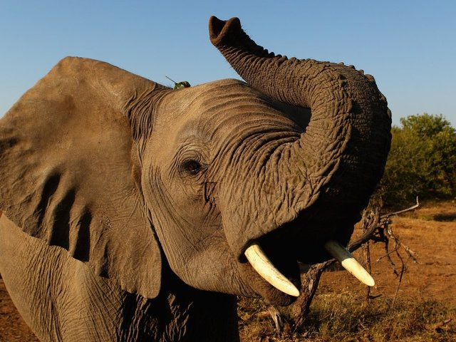 U.S. reverses, will again allow elephant trophies